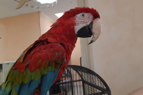 Попугай ара — один из питомцев злополучного контактного зоопарка, которого хозяин бросал дважды