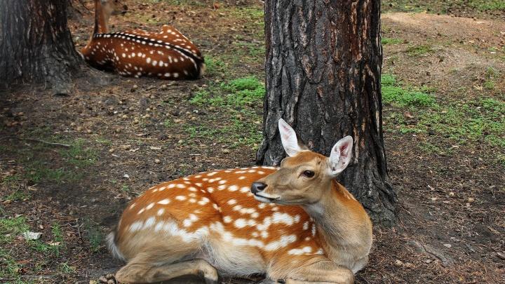 Зоопарк заказал смотровые площадки для наблюдения за пятнистыми оленями