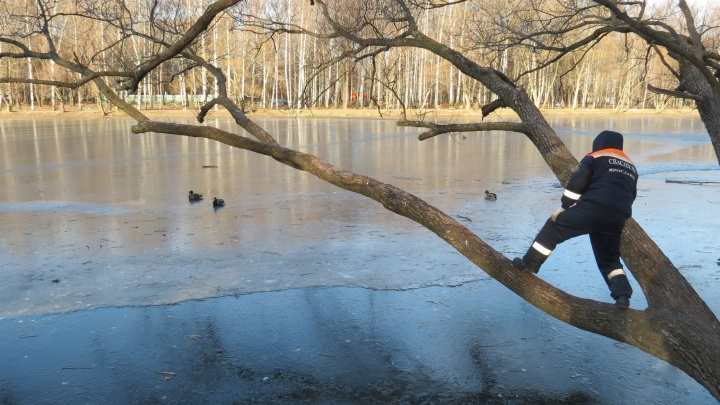«Их начали клевать вороны»: в парке Нефтяников стая уток вмёрзла в лёд
