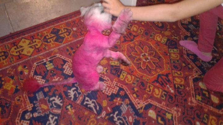 В Новосибирске потерялся розовый кот Барсик — хозяин уверен, что его украли