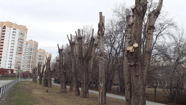 Страшные коряги придётся потерпеть: учёный УрО РАН и чиновник объяснили, зачем обрубают деревья