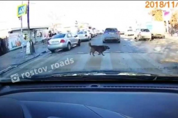 Собака продемонстрировала отменное знание правил дорожного движения