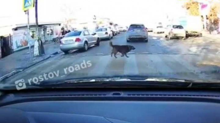 В Таганроге пес своим примером показал пешеходам, как надо переходить дорогу