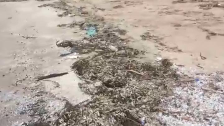 Живая-мертвая вода: под Тольятти из Волги снова выбросило огромное количество рыбы