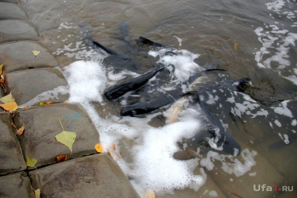 Местные жители пожаловались на мёртвую рыбу и стойкий запах пивных дрожжей