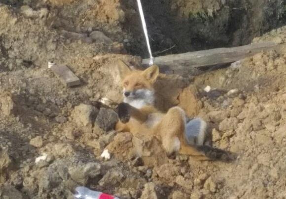 На трассе под Емельяново нашли раненного лисенка и пытаются его спасти