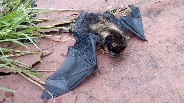 В Архангельской области «бэтмены» ищут места для зимовки: что делать, если встретил летучую мышь