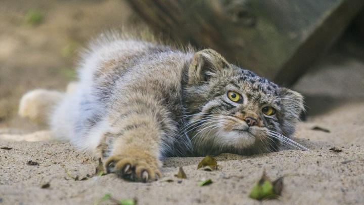 Круглый и мохнатый манул из зоопарка обрадовался весне — он играет, как домашний котёнок