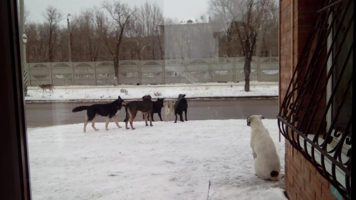 Передвигаемся короткими перебежками: жители улицы Хорошева жалуются на стаи бездомных собак