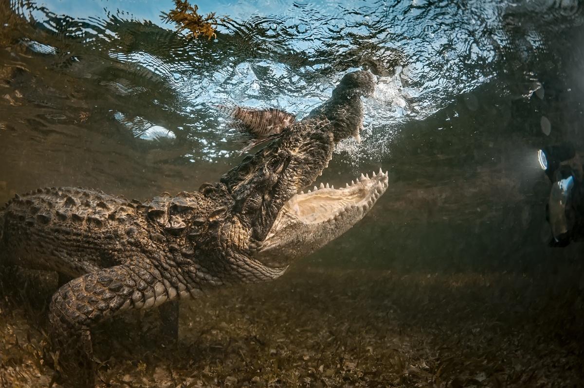 Соленоводные крокодилы вырастают до 5 метров в длину