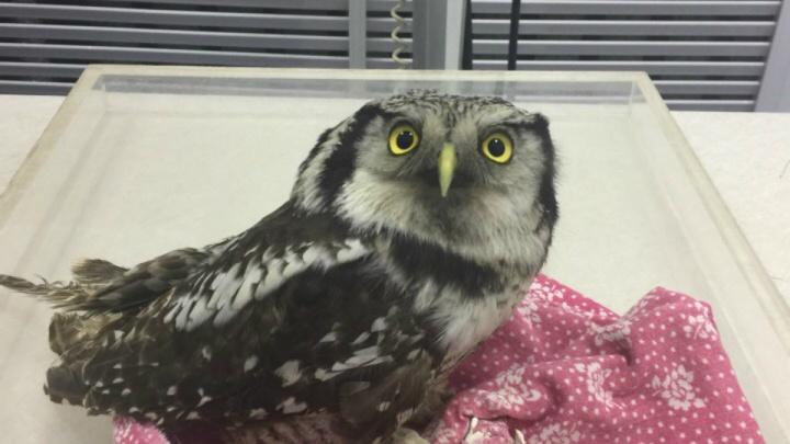Переломы и раны: в Башкирии нужна помощь избежавшей неволи ястребиной сове