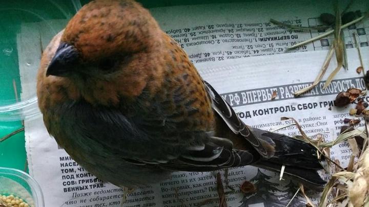 «Как окрепнет, выпущу на волю»: общественница выхаживает у себя дома редкую птицу
