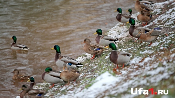 В уфимский парк Лесоводов на зимовку прилетели кряквы