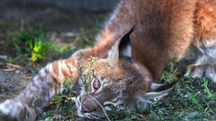 Солнце для Пятнышка: челябинский зоопарк пополнился четырёхмесячным рысёнком из Ижевска
