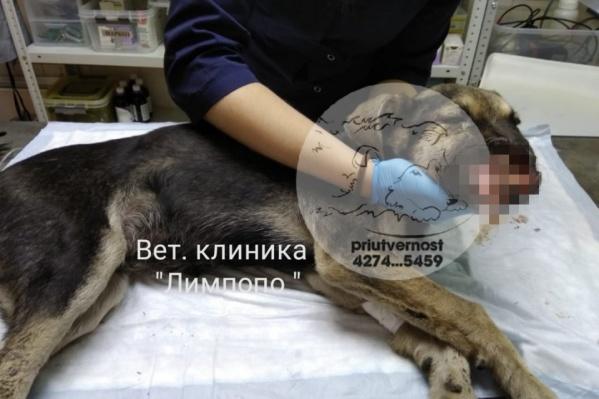 Щенок пострадал от нападения живодера