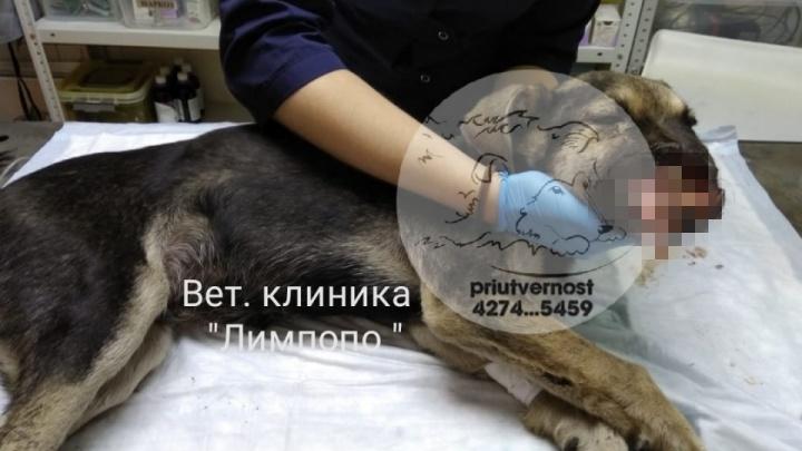 Изувеченного живодерами щенка забрала семья из Москвы