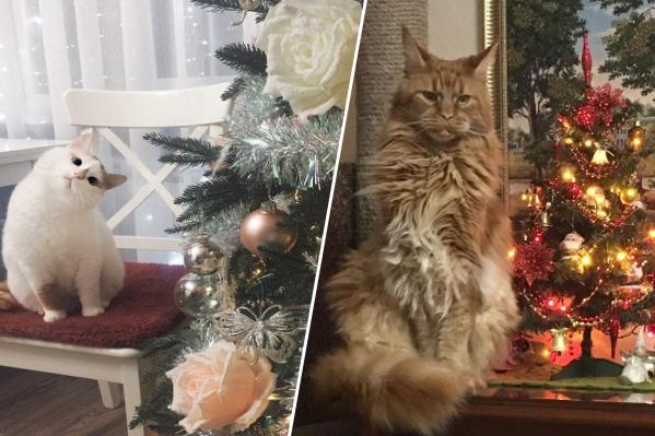 Коты очень любят фотографироваться с елкой