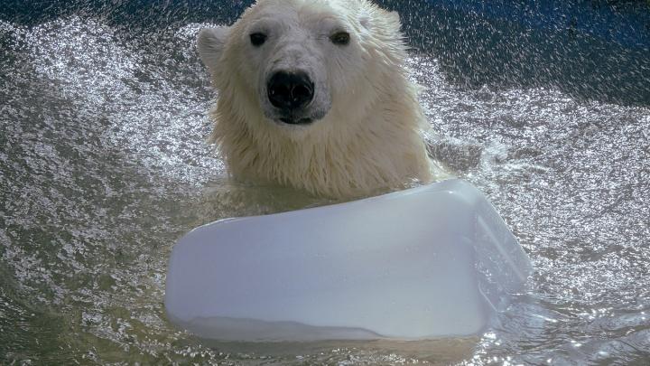 Очаровательные белые мишки из «Роева ручья» искупались в бассейне и попозировали фотографам