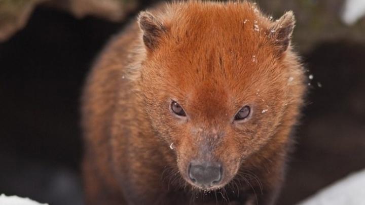 Новосибирский зоопарк решил построить вольер для редкого зверя с перепонками