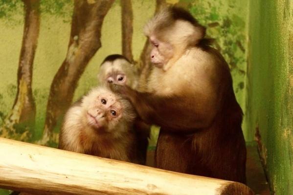 Капуцин Бирюза — самая заботливая мама зоопарка