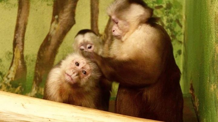Мадам, вы прекрасны: в Екатеринбургском зоопарке выбирают лучшую самку