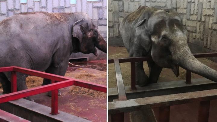 Села на диету: в зоопарке ответили екатеринбуржцам, которых возмутил внешний вид слонихи Даши