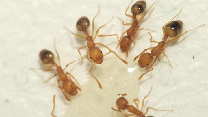 Фараоны пришли: жителей многоэтажки атаковали рыжие муравьи. НГС узнал, как от них избавиться