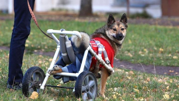 Собака на колесиках: в Благовещенске спасли пса с перебитым позвоночником