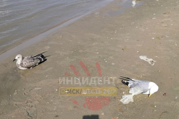 Неделю назад на берегу омич нашёл несколько трупов чаек и живых, но обездвиженных птиц