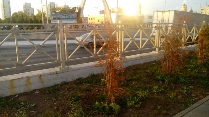 Минтранс будет судиться с подрядчиками за высохшие туи на Московском шоссе