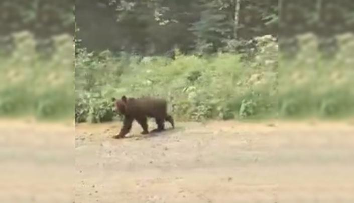 Храбрый медвежонок прогулялся вдоль трассы около Северо-Енисейска