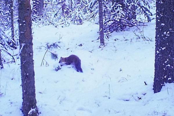 Браконьеры добыли в лесах на севере края 1400 шкурок ценного зверька