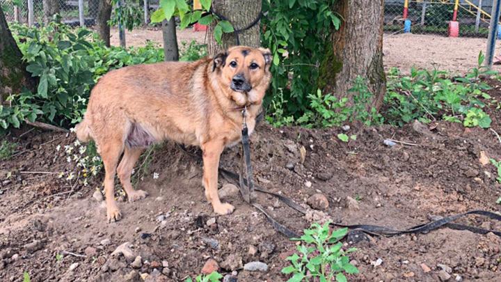 Сидела привязанной два дня: в Ярославле собаку бросили возле площадки для выгула