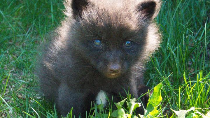 «Отбирают мясо у родителей»: в Самарском зоопарке родились лисята
