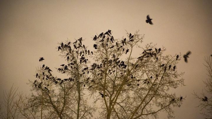 Оголодавшие птицы прилетели в Новосибирск в поисках еды