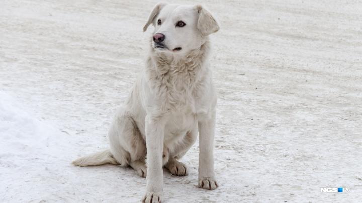 Стая бездомных псов терроризирует Пашино: звери роют подкопы к детскому саду и нападают на людей