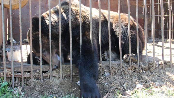 Отдают в хорошие руки: медведю, живущему в Прикамье возле придорожного кафе, ищут нового хозяина