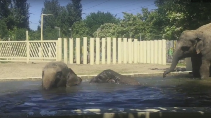 В ростовском зоопарке сняли видео, как слоны спасаются от жары в бассейне