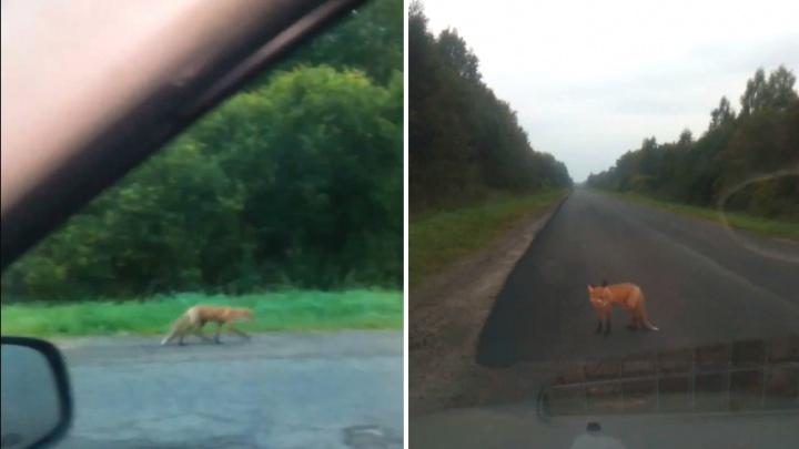 «Ликвидировать бы их»: в Ярославской области трассу оккупировали лисы