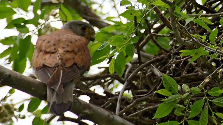 Редкого сокола сняли во время охраны своего гнезда