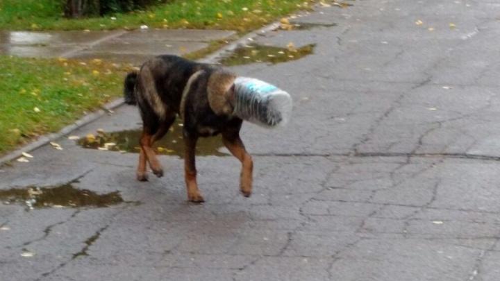 Волонтеры четвертые сутки ловят пса с банкой на голове