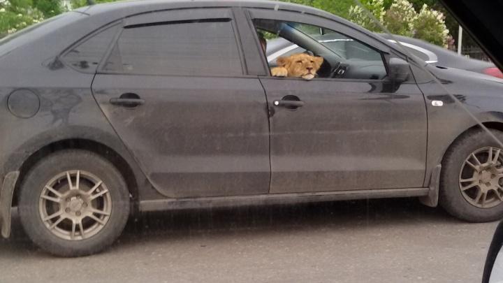 Уфимцы опять встретили львенка на улицах города