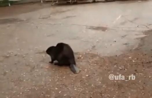 По улицам села в Башкирии бегал растерянный бобер: очевидцы сняли зверя на камеру