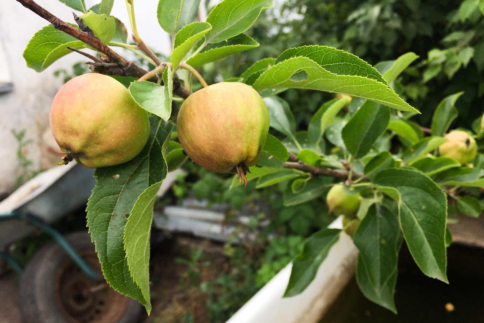 Примета: кидать яблоки в компотцеликом — к неприятному сюрпризу