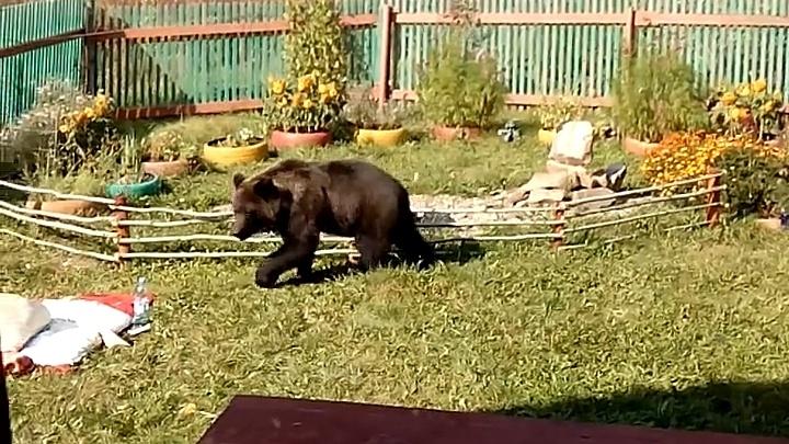 Медведицу с медвежатами стали замечать в черте Красноярска