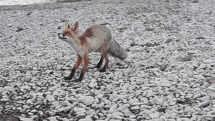 На острове Татышеве около Енисея встретили худую лисичку. Но лучше к ней не приближаться!