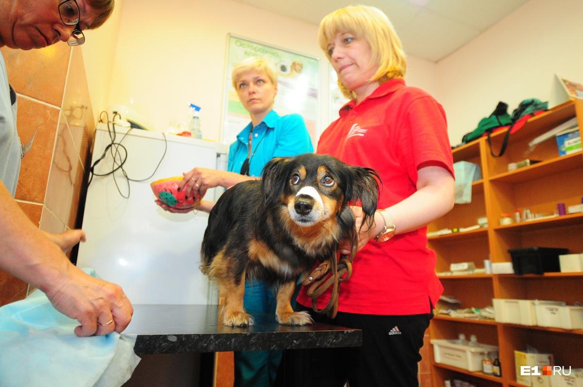 После отравления собаку обязательно нужно отвезти в клинику
