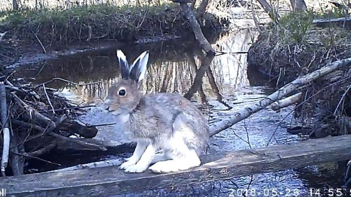Зайцами одобрено: видеролик со зверями из Висимского заповедника попал на всероссийский конкурс