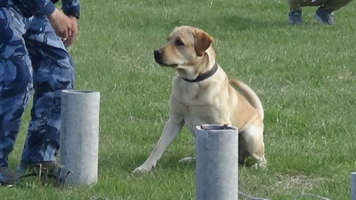 Кинологи свердловского ГУФСИН показали, как их собаки умеют искать взрывчатку и наркотики
