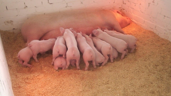 В Перми уничтожили свинину, зараженную африканской чумой. Её изъяли из продуктовых магазинов
